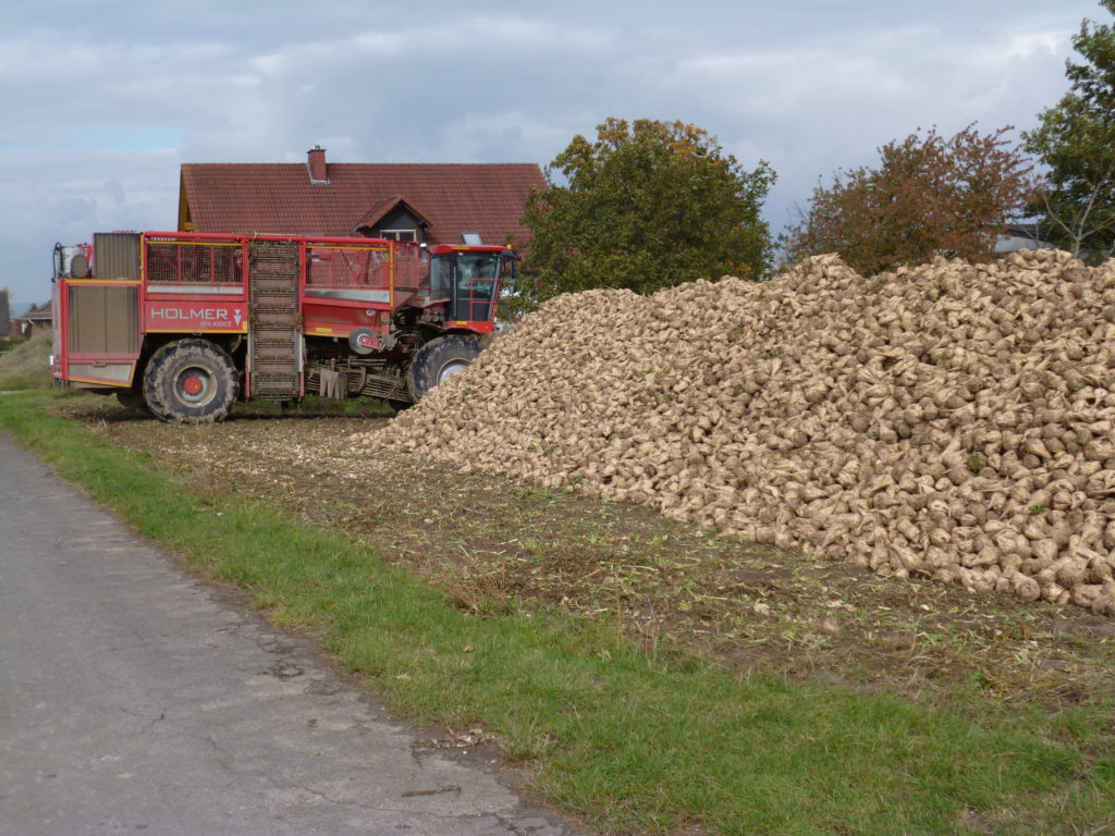 Rübenmieten sollten nach Möglichkeit an befestigten Wegen im Abstand von ca. 0,5- max. 5 m angelegt werden. (Foto: Südzucker AG)